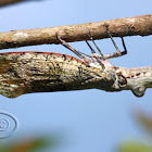 Jequitiranabóia (Peanut-head Bug)