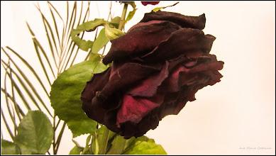 Photo: Trandafiri ( Rosa), primiti de suflet - si ei ca noi si noi ca ei ne pierdem in timp - 2017.08.17