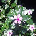 Madagascar periwinkle