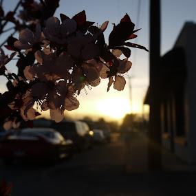 Cherry Blossoms on a sunset, by Andre Quintana - Flowers Tree Blossoms ( cherry, stroll, sunset, sunday, flowers, spring, flower, blossom, cherry blossoms )
