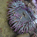 Aggregating anemone