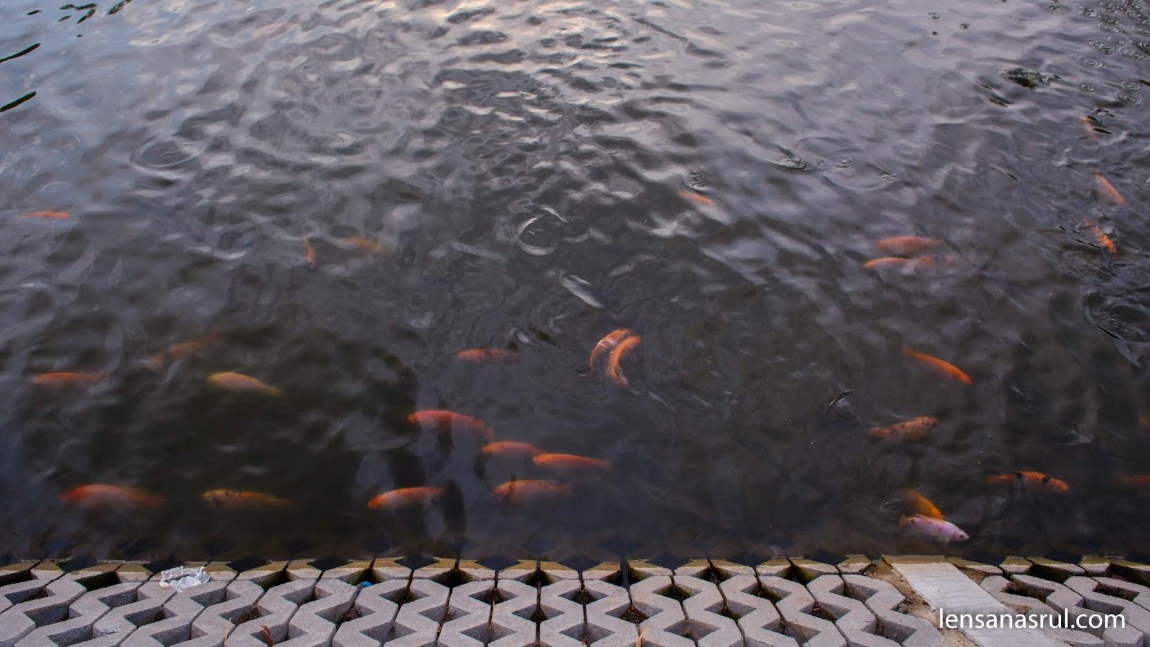 Ikan di embung potorono besar besar