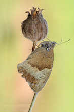 Photo: Maniola jurtina, Myrtil, Meadow Brown https://www.facebook.com/pages/Macro-Photography-Do-Dema/540798875993427