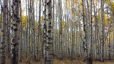 Photo: Endless aspen forest.