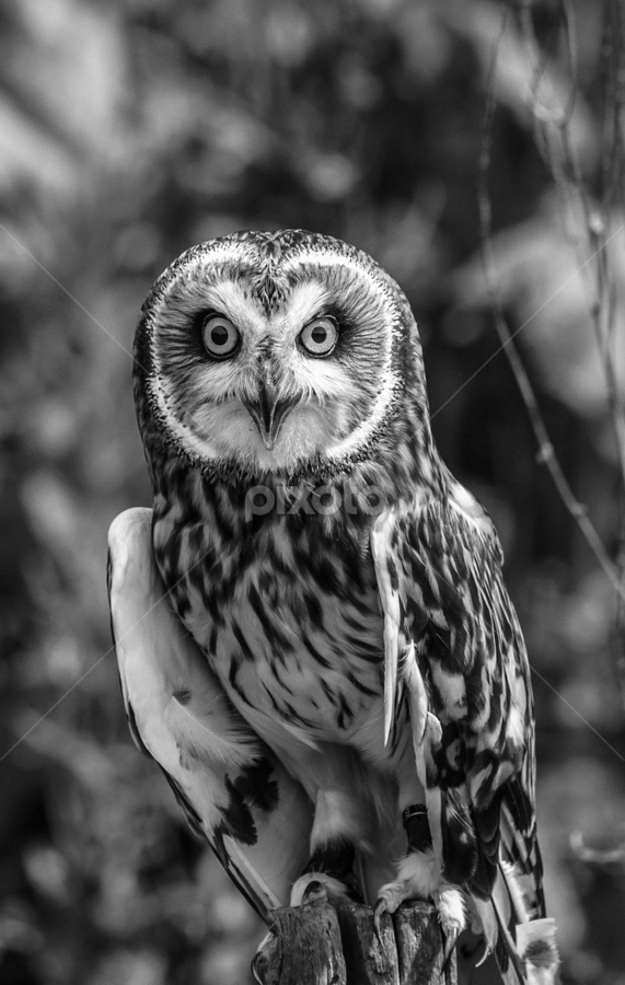 Perched by Garry Chisholm - Black & White Animals ( bird, short, garry chisholm, nature, black and white, owl, wildlife, prey, eared )