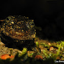 Blackbelly Salamander