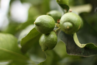 Photo: lemon orchard in Ojay
