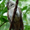 Horsfield's Bronze-cuckoo (juvenile)