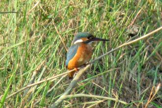 Photo: Common Kingfisher