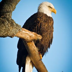 Morning by Scott Turnmeyer - Animals Birds ( eagle, tree, moring, bald )