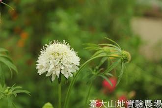 Photo: 拍攝地點: 梅峰-溫帶花卉區 拍攝植物: 松蟲草 拍攝日期:2012_05_19_FY