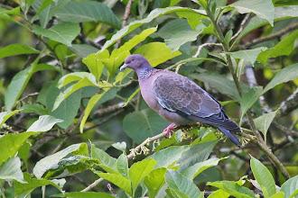 Photo: Picazuro Pigeon