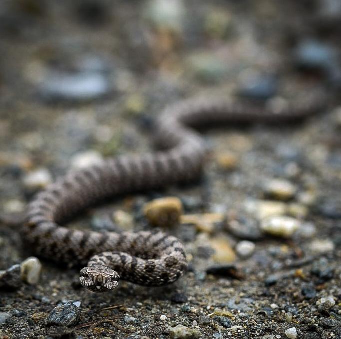 Baby viper   di joseph_giachino