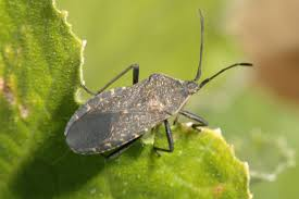 Squash bugs are very common in gardens. Their life cycle begins once the young squash begins to feed.