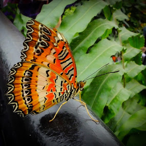 le repos by Jean-Pierre Machet - Animals Insects & Spiders ( papillon- butterfly-,  )