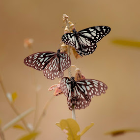 Sweet Butterfly by Soumya Geetha - Animals Insects & Spiders ( butterfly )