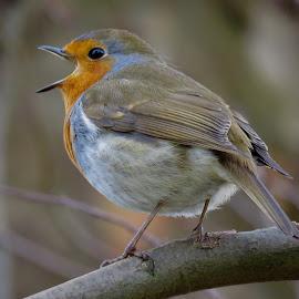 European Robin by Nick Swan - Animals Birds ( robin, nature, bird, wildlife )