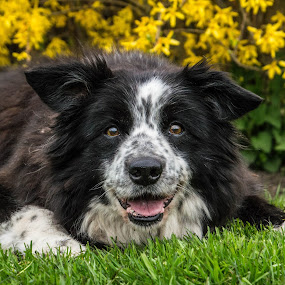 Lovely old lady by Thyra Schoonderwoerd - Animals - Dogs Portraits ( old, girl, border collie, lady, dog )