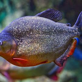 by Jim Jones - Animals Fish ( nature, fish, animal, animals )