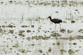 Photo: Ibis falcinelle (Camargue)