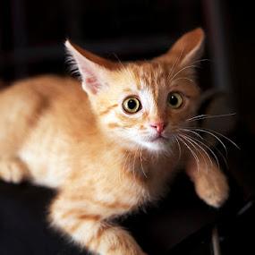 cat by Ekaterina Kaznacheeva - Animals - Cats Portraits