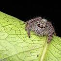 Heavy Jumping Spider