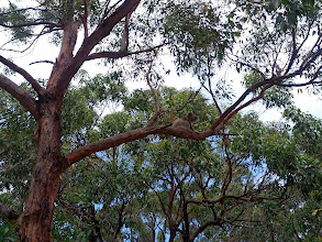 Photo: Found a koala hanging out along the roadside in Otway park
