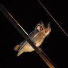 White-faced Scops-Owl