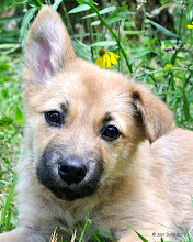 Photo: How about sharing this sweet baby again to increase her chances of finding a home soon, Please! Thank you! Avery is an cute, furry, young, shepherd/lab mix, female puppy for adoption! Date of Birth (a guess) March 18, 2013. Currently in Kentwood, Louisiana. Mother dog looks to be a yellow lab / shepherd mix about 40 pounds and the adult male dogs around there range in size from about 40 to 60 pounds. Her tail curls over her back so she has some other breeds besides these lab and GSD in her background. To start the adoption or foster process, please fill out the online adoption application form here: Animal House Adoption Application - http://free.allforms.mailjol.net/u/a9bb623c.php