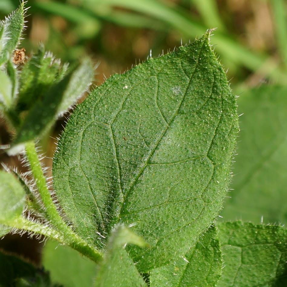 stengelblad