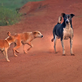 *** by Shibram Nag - Animals - Dogs Playing ( close up, dogs, street photography )