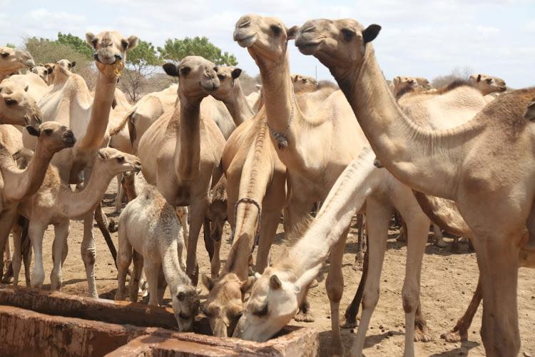 Camels drink water in Tulatula, Eldas subcounty