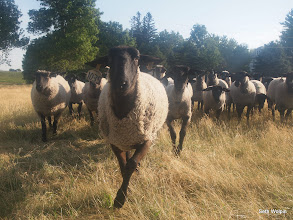 Photo: The sheep  were really interested in the jogger