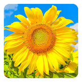Golden Sunflower LWP