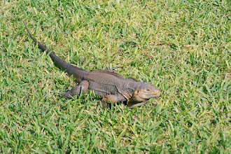 Photo: #012-Iguane sur les pelouses