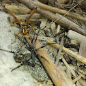 Northern Paper Wasp and unknown spider