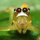Viciria Jumping Spider ♀