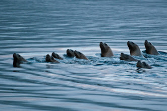 Photo: A horde of sea lions swimming around the Shearwater dock
