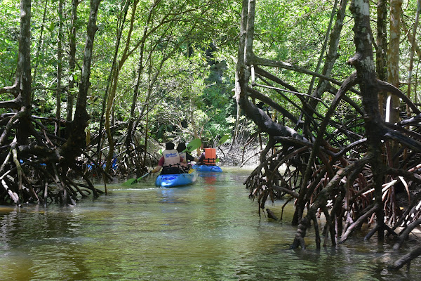 Mangrove roots provide an oyster habitat and slow water flow