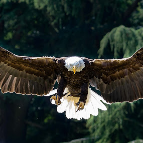 Flight of the Eagle by Andy Smith - Animals Birds ( bird, flight, eagle, bird of prey, bald eagle,  )