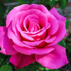 by Nancy Gray - Flowers Single Flower