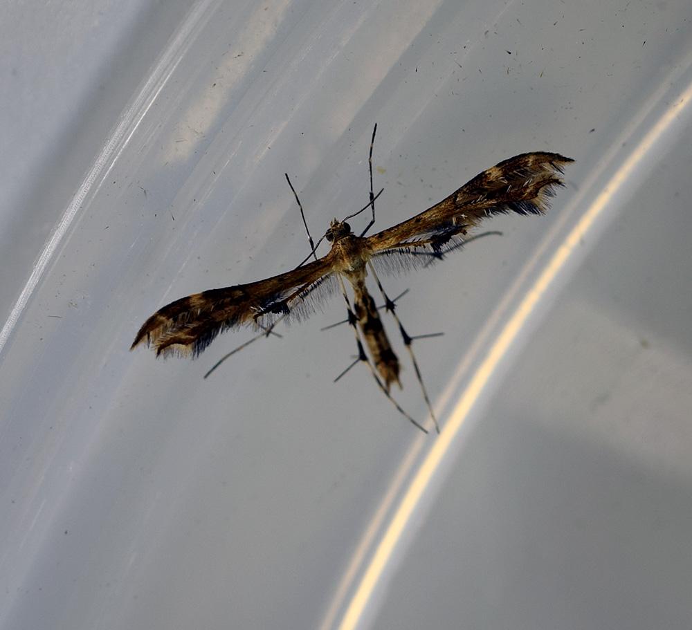 Geranium Plume Moth