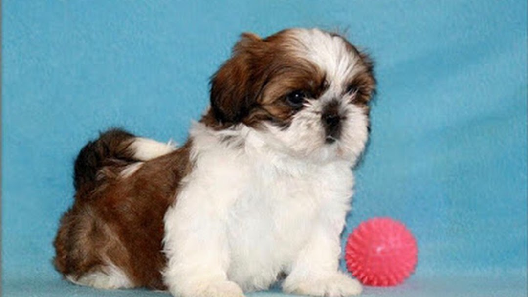 Shih Tzu Puppies For Sale In Chennai Pet Store In Chennai