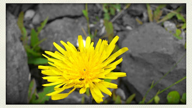 Photo: Dandelion by the lake.