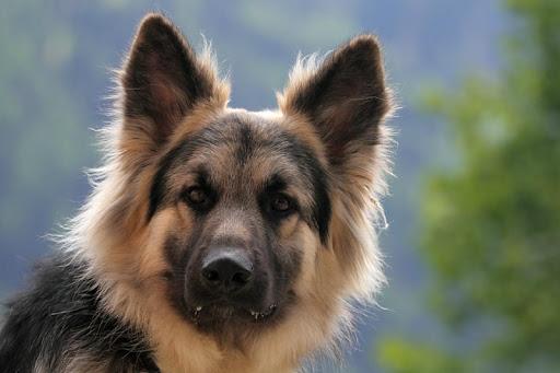 German Shepherd Pack 2