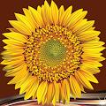 Sunflower Photo Collage APK