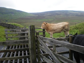 Photo: PW - Cattle disturbing my lunch after Fountains Fell descent