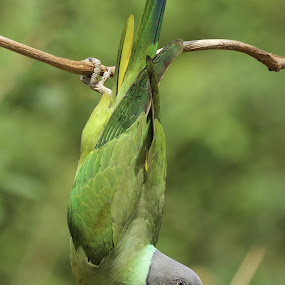 Bottom's Up by Gayatri Pimple - Animals Birds ( green, bird photos, nature up close, beauty in nature, birds, birding, green background, acrobat, bird photography, bird, up and down, parrot, nature close up,  )