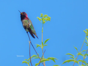Photo: Anna's Hummingbird Tony Provenzano