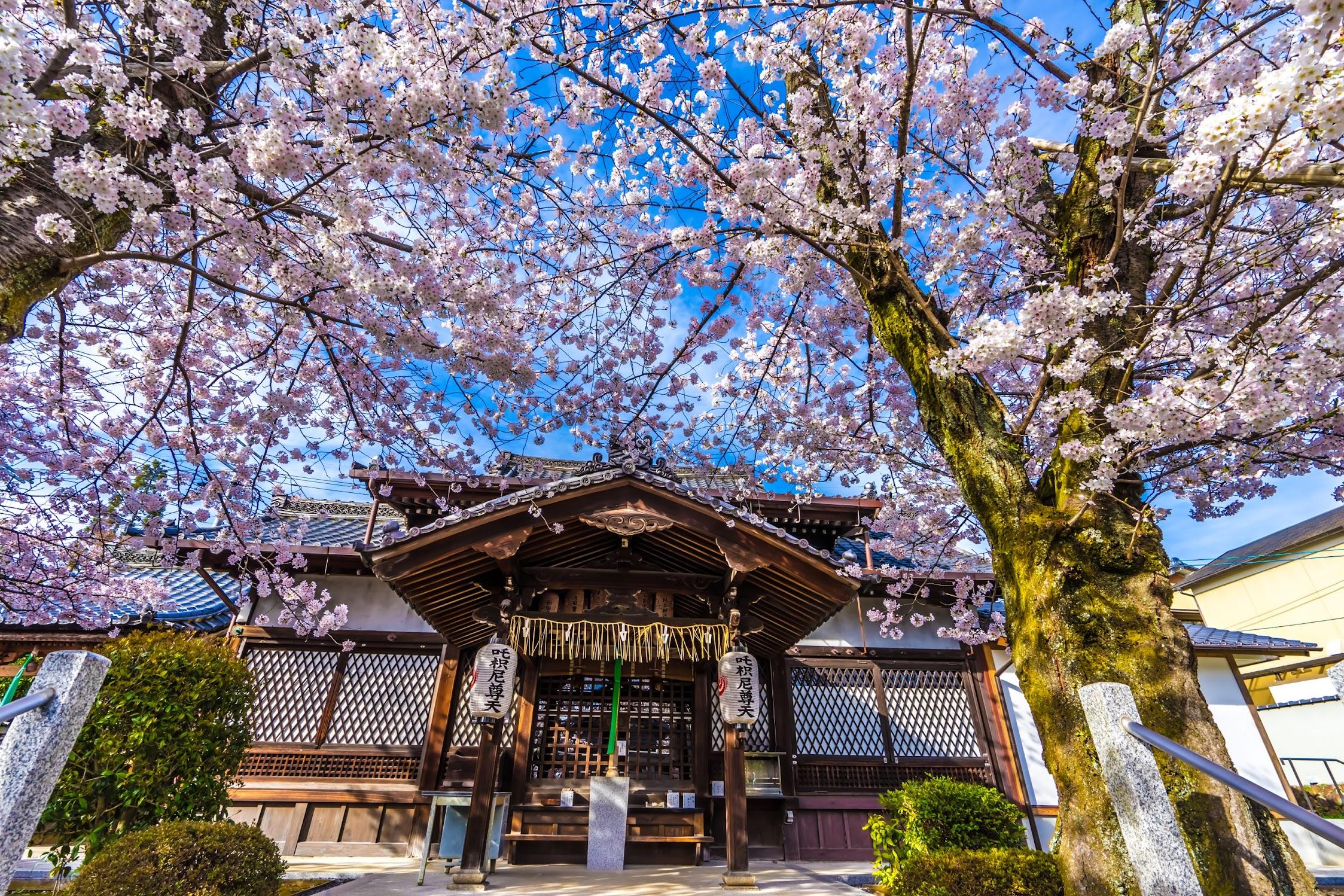 京都 桜 真如堂1